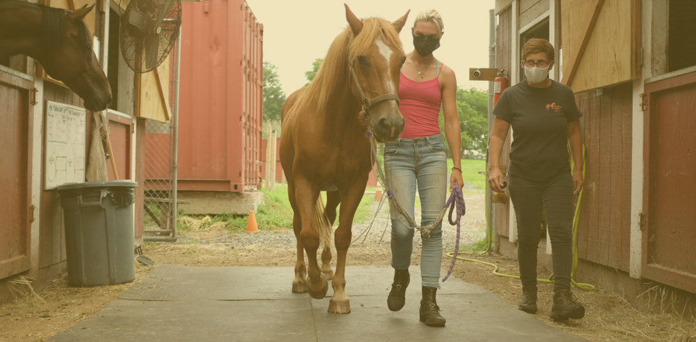 Zest, chestnut therapy horse, is being led to his stall by two barn workers